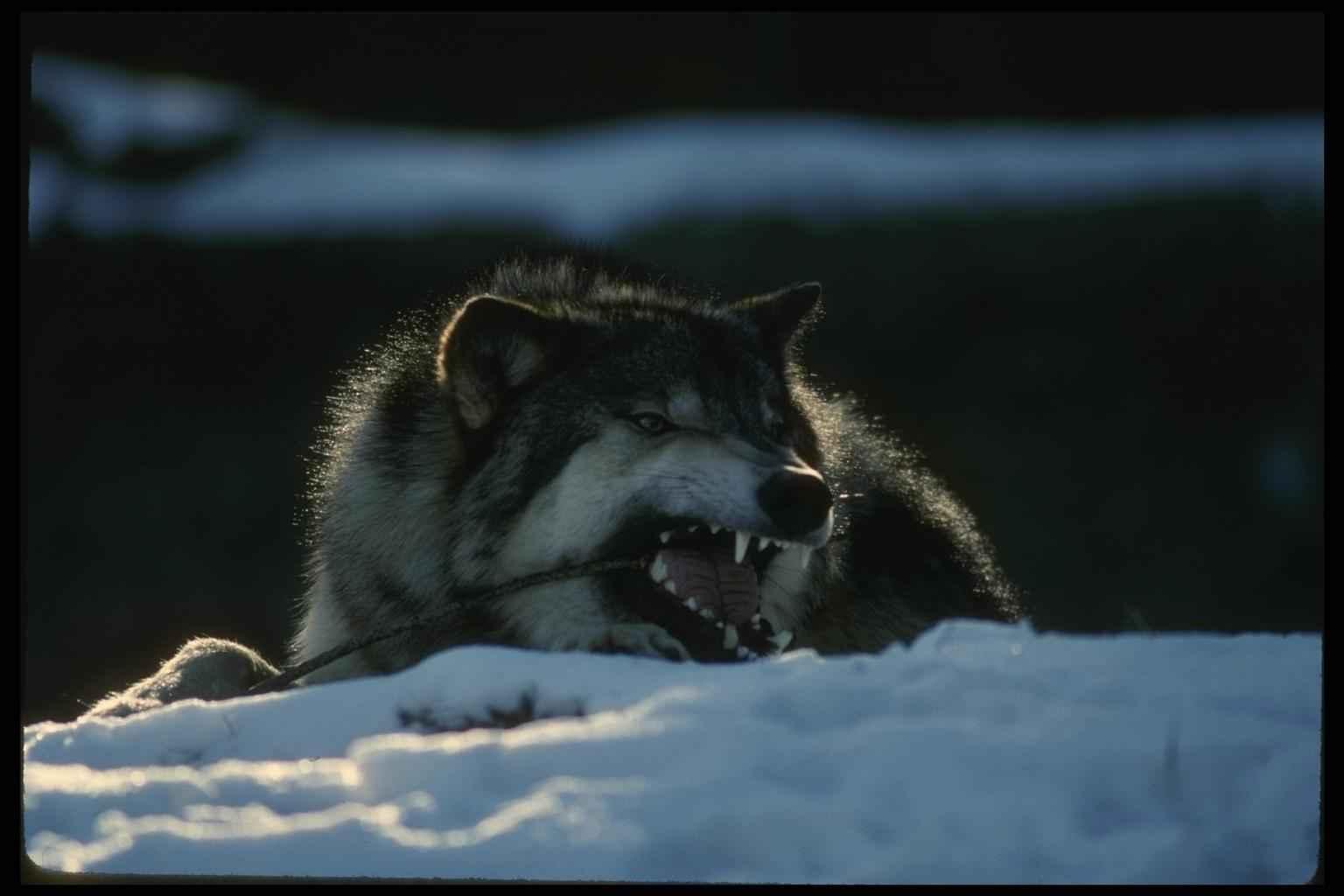 С волками и волчицами 460 345 волки
